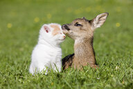 Fawn and kitten sitting on grass - ISF00159