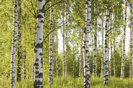 Forest of birch trees - ISF00321