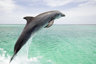 Bottlenose dolphin leaping from sea - ISF00519