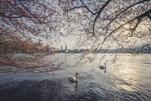 Germany, Hamburg, Germany, Hamburg, blossoming cherry tree at Binnenalster, swimming mute swans - KEBF00820