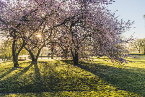 Germany, Hamburg, Alsterpark, flowering cherry trees - KEBF00823