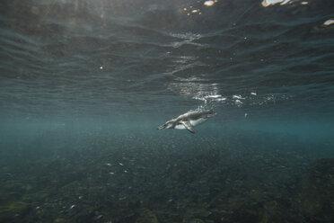 Galapagos Penguins hunting sardines, Seymour, Galapagos, Ecuador - CUF03564