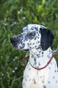 Portrait of Dalmatian - LVF06968