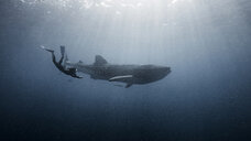 Diver swimming with Whale shark, underwater view, Cancun, Mexico - CUF03832