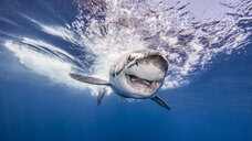 Great White shark entering water after attacking bait, underwater view - CUF03871