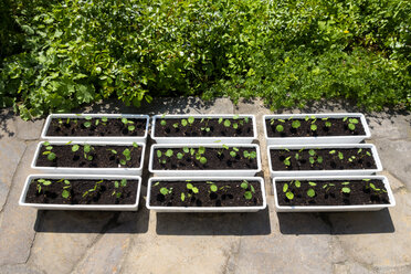 Organic gardening, nasturtium in flower boxes, roses and lady's mantle in bed - NDF00754