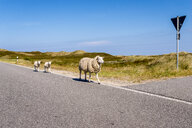 Germany, Schleswig-Holstein, Sylt, Sheep walking on roadside - EGBF00252