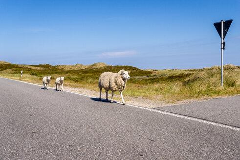Germany, Schleswig-Holstein, Sylt, Sheep walking on roadside - EGBF00252