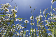 White marguerites against blue sky - ASCF00873