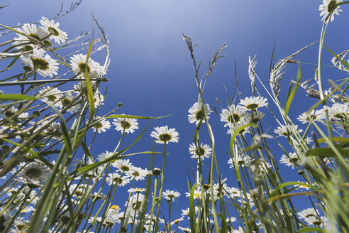 White marguerites against blue sky - ASCF00873