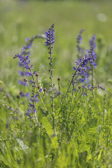 Blossoming Meadow Sage - ASCF00876