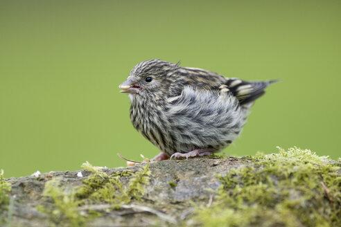 Eurasian Siskin fledgling - MJOF01498