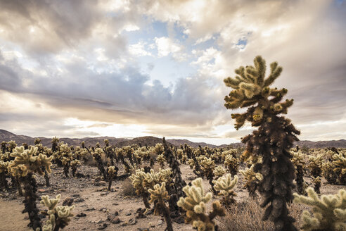 Landscape view with cacti in Joshua Tree National Park, California, USA - CUF07383