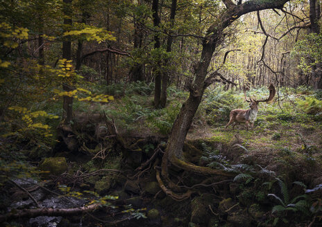 Deer in woodlands, West Midlands, UK - CUF07658