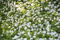 Flowering ramson - NDF00759