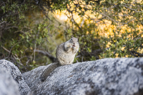 Portrait of squirrel on rock, Yosemite National Park, California, USA - CUF07993