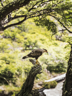 Caracara watching from forest tree in Los Glaciares National Park, Patagonia, Argentina - CUF08047