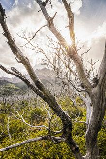 Sunlit skeletal trees in Los Glaciares National Park, Patagonia, Argentina - CUF08050