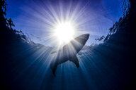 Shark swimming in sea under sunrays - CUF08194