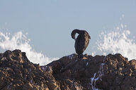 Africa, South Africa, Cape Town, Bird sitting on the rocks, preening - ZEF15495
