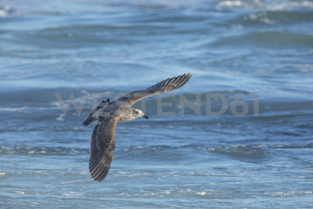 Africa, South Africa, Cape Town, Kelp gull flying over the sea - ZEF15498