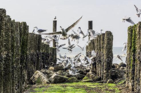 Flying seagulls between breakwater - THAF02162