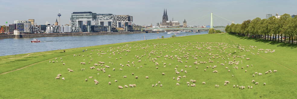 Germany, Cologne, view to the city with Rhine River and flock of shep on Poller Wiesen in the foreground - WGF01190