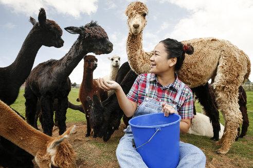 Woman feeding alpacas on farm - CUF10699