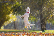 Jack russell playing in park in Autumn - CUF11697