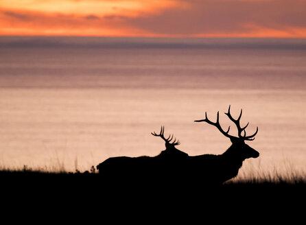 Silhouetted tule elk bucks (Cervus canadensis nannodes) on coast at sunset, Point Reyes National Seashore, California, USA - ISF03088
