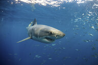 Great white shark swimming (carcharodon carcharias) close to surface, Guadalupe, Mexico - ISF06008