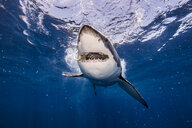 Underwater view of white shark with bait in mouth, Campeche, Mexico - ISF06221