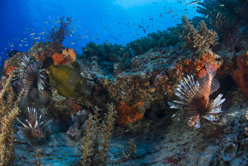 Lionfish by reef, Cancun, Mexico - CUF13481