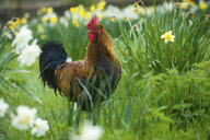 Portrait of rooster in daffodil meadow - CUF13490