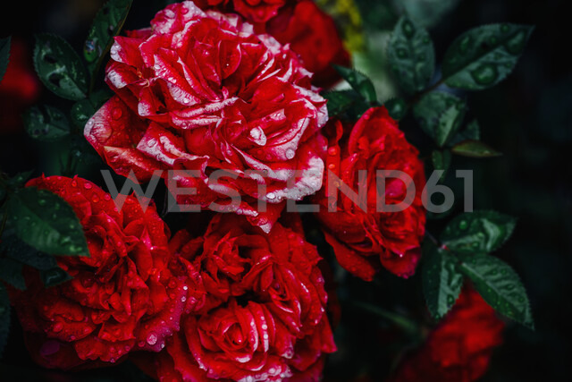 Close-up of red roses - MJF02264