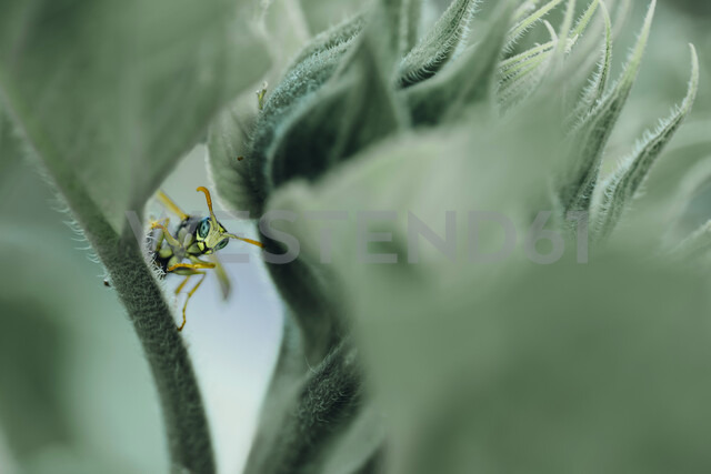 Male paper wasp on sunflower leaf - MJF02270