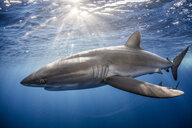 Silky Shark (Carcharhinus Falciformis) swimming close to photographer - ISF06485
