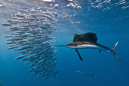 Atlantic sailfish (Istiophorus albicans) attacking a sardine baitball hoping to strike one with its serrated bill, Isla Mujeres, Mexico - ISF06961