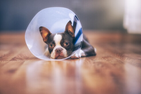 Boston Terrier puppy wearing pet cone - ISF06985