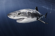 Close up underwater side view of male great white shark - ISF07009