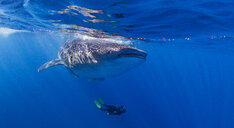 Whale Shark with diver swimming underneath - CUF18854