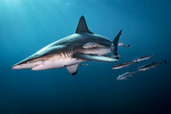 Oceanic Blacktip Shark (Carcharhinus Limbatus) swimming near surface of ocean, Aliwal Shoal, South Africa - CUF20185