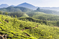 Tea plantation, Kerala, India - CUF20197