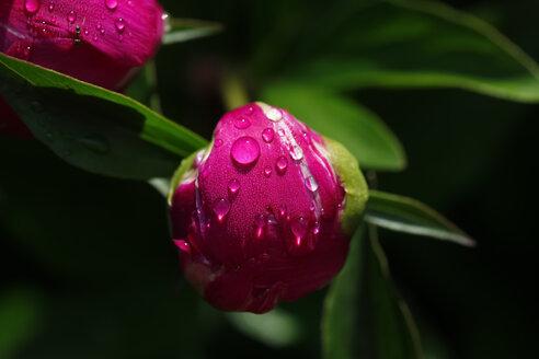 Pink peony - JTF01003