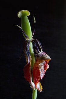 Withered tulip in front of black background - CRF02799