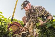 Bearded man harvesting fresh vegetables into basket - CUF20294