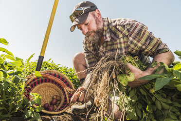 Bearded man harvesting fresh vegetables into basket - CUF20294