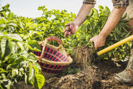 Cropped view of man harvesting fresh vegetables from vegetable garden - CUF20297