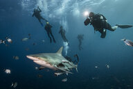 Scuba divers' encounter with large Oceanic Blacktip Shark (Carcharhinus Limbatus), Aliwal Shoal, South Africa - CUF21110