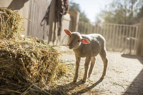 Lamb eating hay on a farm - ZEF15568